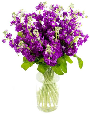 Weekly Flower Delivery – Purple Stocks for the Home or Office