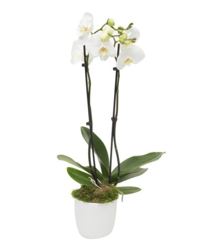 Monthly Reception Orchid, Double stemmed white Phalaenopsis orchid