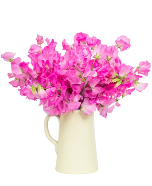 10-8 Sweet Peas - Bright Pink_V2